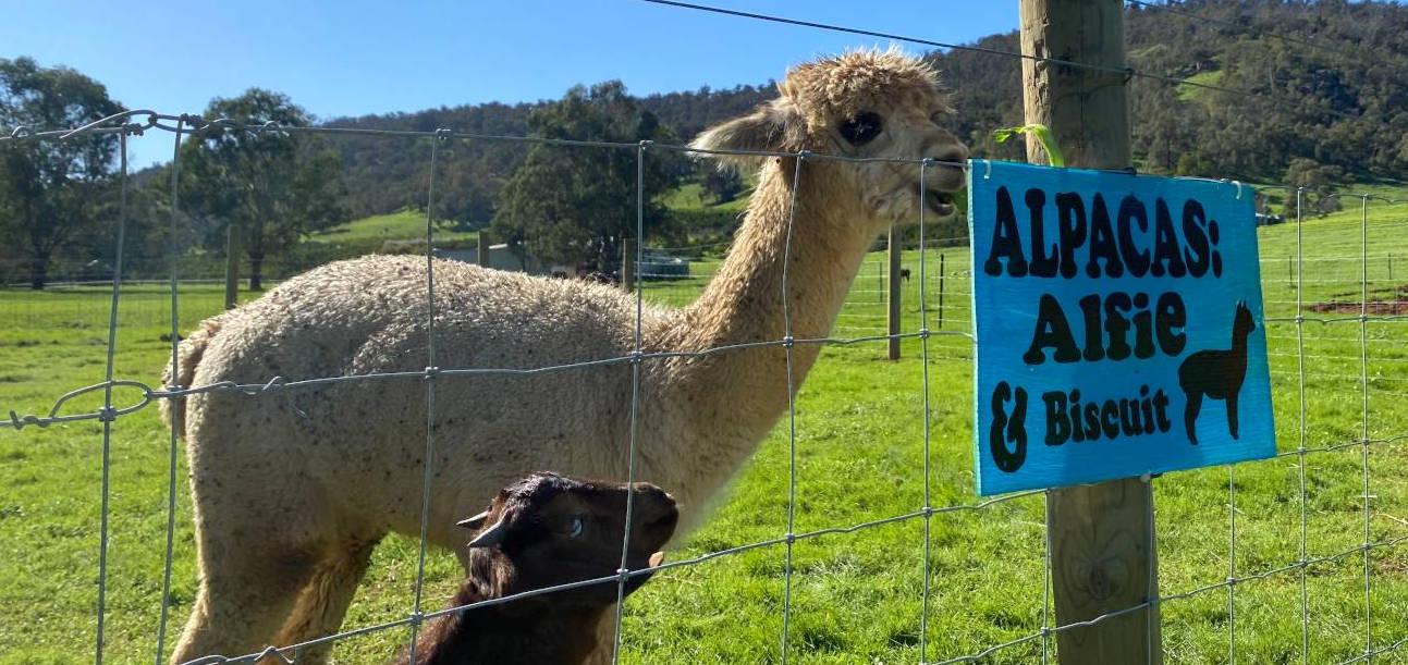 farm animals alpacas